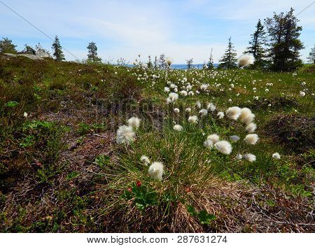 Summer Landscape With Cotton Grass In The Wilderness Of Riisitunturi National Park, A Mountain In La