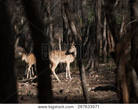 Chital Or Spotted Deer In Ranthambore National Park In Rajasthan, India