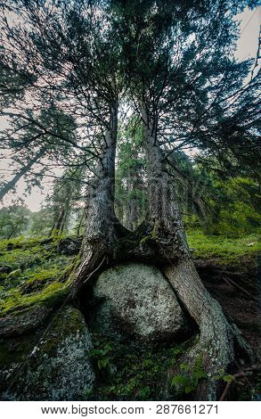 Two Tall Trees On The Stone In Wild Forest.