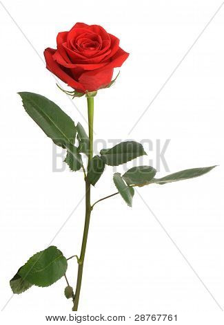 Red Rose With Water Drops It Is Isolated On A White Background