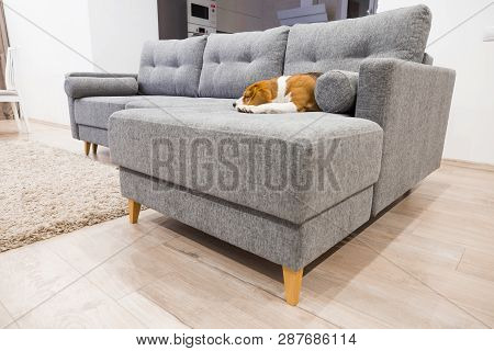 Comfortable Furniture Theme. Beagle Dog Sleeping On The Sofa Indoors. New Gray Couch.