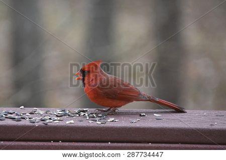 Northern Cardinal Or Redbird Or Common Cardinal - Cardinalis Cardinalis - Perched On Backyard Deck P
