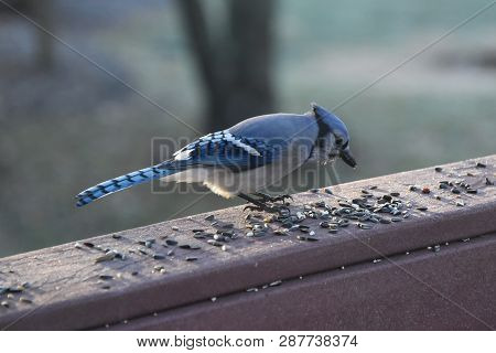 Blue Jay Animal Bird Perched On A Backyard Deck Porch Eating Birdseed In Winter Illuminated In The S