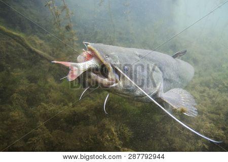 Underwater photo of The Catfish (Silurus Glanis). European Catfish attack. Biggest predatory fish in