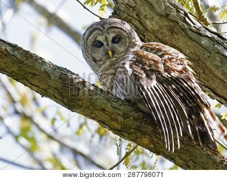 A Barred Owl Sitting In A Tree