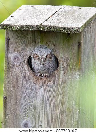 A Eastern Screetch-owlet Inside A Nest Box