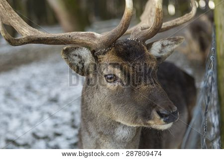 Closeup Of A Deer In A Nowy Forest