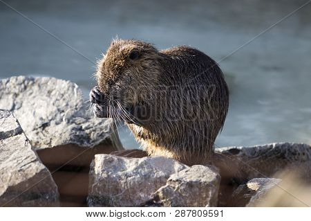 Portrait Of A Nutria Sitting On Rocks