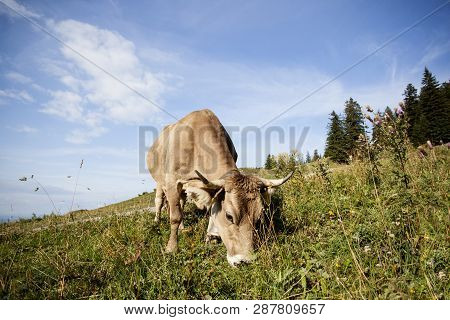 Dairy Cow On The Pasture In Summertime, Bavarian Mountains