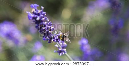 Panorama Of A Purple Lavender Field, Springtime