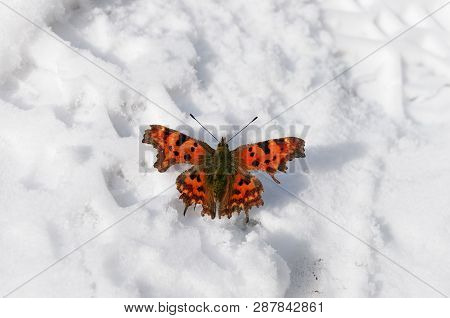 Beautiful Bright Butterfly On The White Snow. Winter And Summer Symbols On The One Picture; Nature M