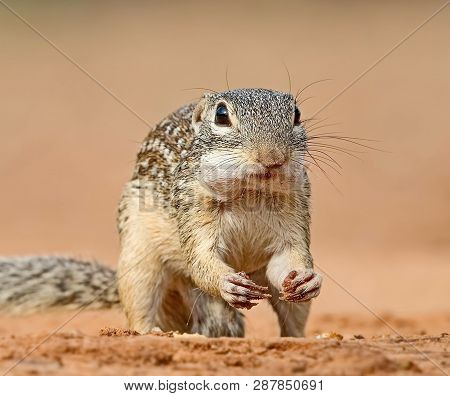Long-tailed Ground Squirrel, Or Gopher Eversman (lat. Spermophilus Undulatus) Is A Rodent Genus Of G