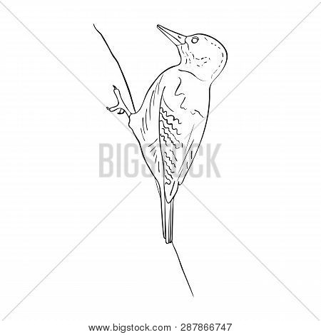 Vector Line Drawing Bird Sitting At Tree, Sketch Of Woodpecker, Hand Drawn Songbird, Isolated Nature
