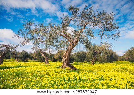 Spectacular flowering field in an olive grove. Location place Island Sicily, Italy, Europe. Scenic image of spring time fresh green meadows in sunny day. Vacation season. Discover the beauty of earth.