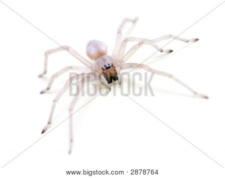 Translucent Spider On White