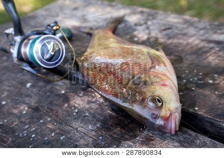 Close Up View Of Big Freshwater Common Bream And Fishing Rod With Reel On Vintage Wooden Background.