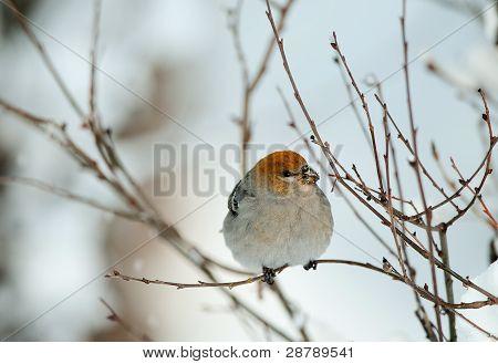 The Pine Grosbeak (female)