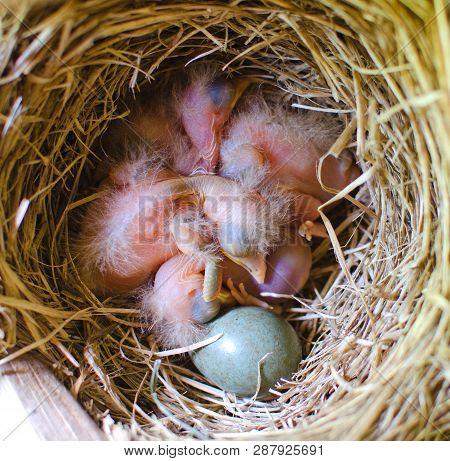 A Lot Of Sleeping Blackbird Chicks In The Nest