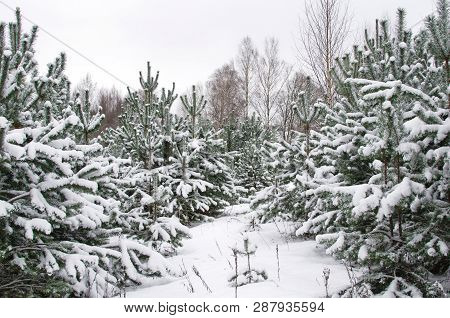 Plantation Of Christmas Trees In Winter Forest