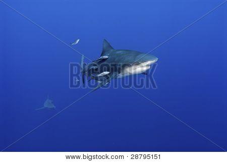 Peeping Bull Shark