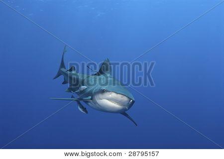 Sonrisa de tiburón