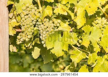 Ripe Chardonnay Grapes On Vine In Vineyard At Harvest Time