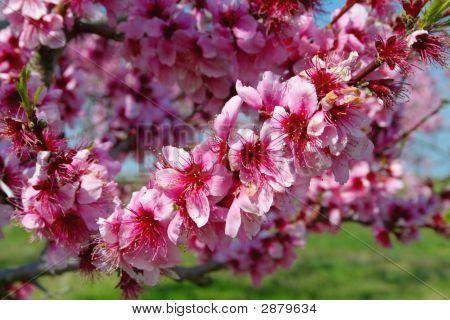 Closeup Peach Blooms