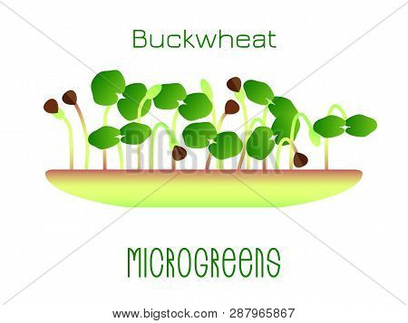 Microgreens Buckwheat. Sprouts In A Bowl. Sprouting Seeds Of A Plant. Vitamin Supplement, Vegan Food