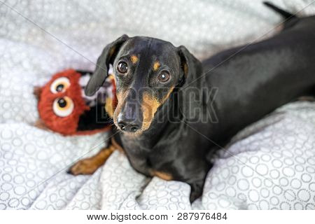 Dog Dachshund  Is Lying In The Bed And Playing With Toy