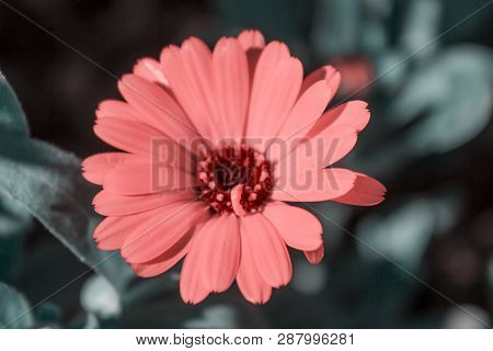 Red Daisy Flower. Flower In Garden At Sunny Summer Or Spring Day. Flower For Postcard Beauty Decorat