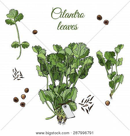 Set  With  Bundles Of  Leaves Of Cilantro And Spices. Hand Drawn Ink And Colored Sketch Isolated On