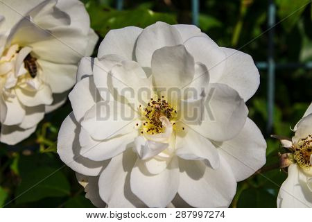 White Flower. Flower In Garden At Sunny Summer Or Spring Day. Flower For Postcard Beauty Decoration