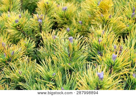 Karstens Wintergold Mountain Pine, Greenhouse Or Flowerbed, Plant Background From Conifers.