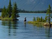 mule deer resting in the middle of journeying across a mountain lake poster