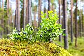 Bush of a ripe blueberry on the blurred background in summer forest poster