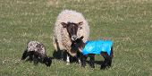 Lambs in spring time with protective plastic coats on against the cold poster