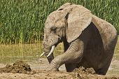 Elephant after a long wet mud bath poster