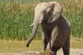 large male elephant walking out of a waterhole after cooling off poster