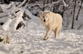 White Timber wolf in a refuge at the bottom of Grouse Mountain poster