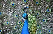 Beautiful blue & purple peacock in full fan poster