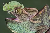 A baby veiled chameleon is sitting on the head of a large veiled chameleon and trying to use a dental tool on his teeth. poster