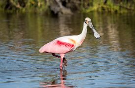 A Roseate Spoonbill Wading In Coastal Waters.