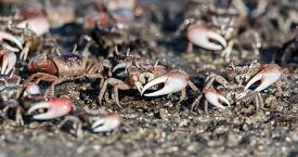 Fiddler Crabs In Canaveral National Seashore, Florida.