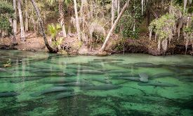 A Group Of Manatees At Blue Springs State Park.