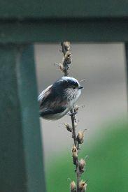 Long-tailed Tit (aegithalos Caudatus) Glimpsed Through Fence. Bird Photographed On Garden Fence In U