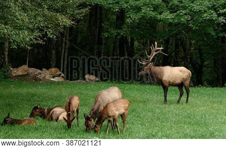 Bull Elk Looks Over Young Elk Sitting In Field