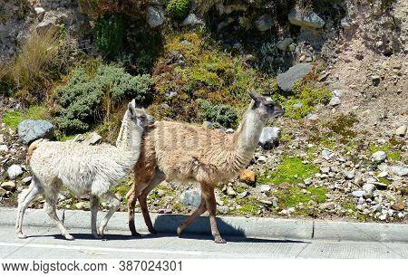 Llamas Walking Along The Road In Cajas National Park In Andean Highlands Of Ecuador