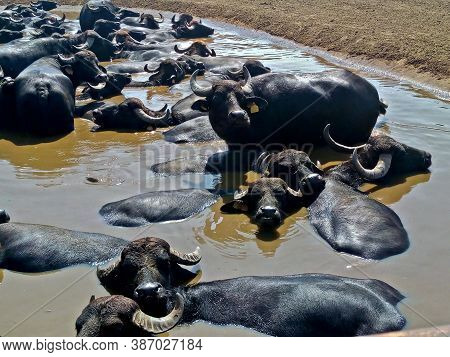 Alvignano, Caserta, Italy. Buffaloes In A Pond Which Are Used To Produce The Famous Italian Buffalo