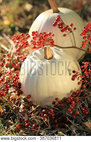 Thanksgiving. Pumpkins White Set With Branches Of Red Berries In The Grass On An Autumn Blurred Gard