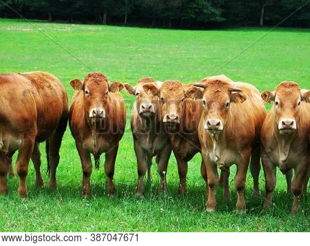 Photo Of Cattle Herd Located In The South Of France